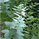 Eukalyptus Globulus - semienka rastliny 10 ks