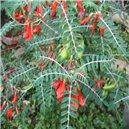 Sutherlandia Africká bylina - semienka rastliny 5 ks