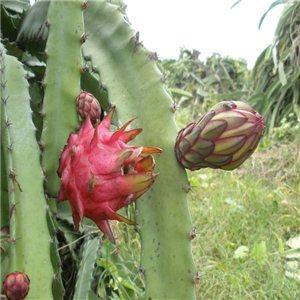 Pithaya - Dračí ovoce (Hylocereus polyrhizus) 7 semen