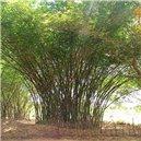 Indický Bambus semienka rastliny 3 ks