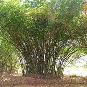 Indický Bambus - semienka rastliny 3 ks
