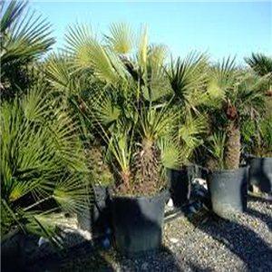 Palma Evropská -(Chamaerops humilis) - semínka rostliny 2 ks