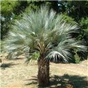 Palma Braheova semienka rastliny 2 ks