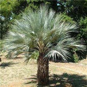 Palma Braheova - (rastlina: Brahea armata) - semienka rastliny 2 ks