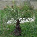 Palma Jelly semienka rastliny 2 ks