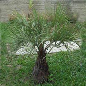 Palma Jelly - (rostlina:Butia catarinensis) -  semínka rostliny 2 ks