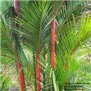 Palma Oranžová semienka rastliny 2 ks