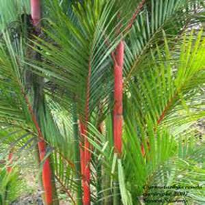 Palma Oranžová - (rastlina: Cyrtostachys Renda) - semienka rastliny 2 ks