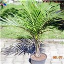 Palma Vretenová - semienka rastliny 4 ks