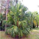 Palma Čínska semienka rastliny 2 ks