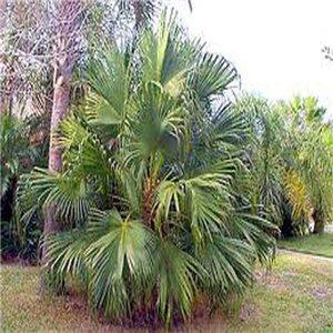 Palma Čínska - (rastlina: Livistona chinensis) - semienka rastliny 2 ks