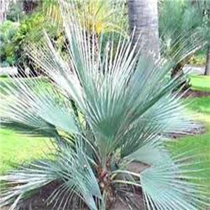 Palma Stříbrná ( Nannorrhops arabica) 2 semena