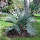 Palma Pakistanská - semienka rastliny 3 ks