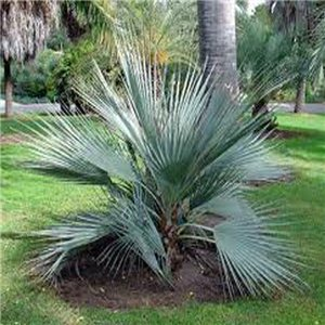 Palma Pakistanská - (rastlina: Nannorrhops ritchiana) - semienka rastliny 3 ks