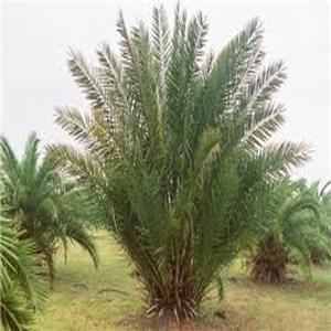 Datľovník Pravý - (Phoenix dactylifera) - semienka rastliny 3 ks