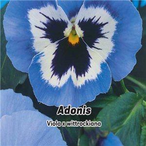 Maceška zahradní - Vínově červená s okem (Violka Adonis) -  semena 0,2 g