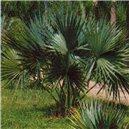 Trpasličí palma  - semínka rostliny 3 ks