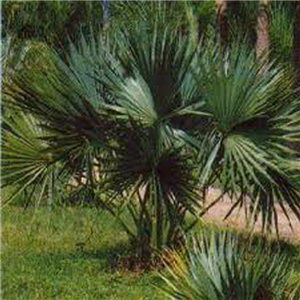 Trpasličí palma - (rastlina: Sabal minor) - semienka rastliny 3 ks
