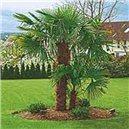 Palma Konopná - semienka rastliny 3 ks