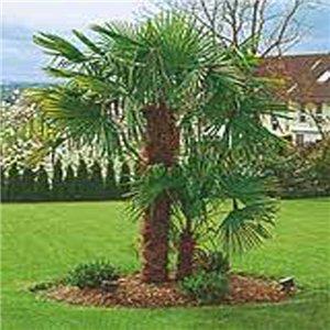 Palma Konopná - (rastlina: Trachycarpus fortunei) - semienka rastliny 3 ks