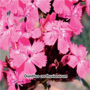 Hvozdník kartouzek (kvetina: Dianthus carthusianorum) 0,3 g osiva klinčeka