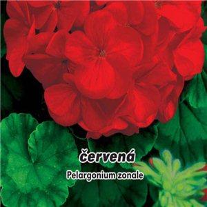 Pelargonie Paška F1 - Červená - (kvetina: Pelargonium zonale) - semená 10 ks