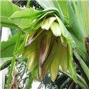 Banánovník habešský - semienka rastliny 4 ks