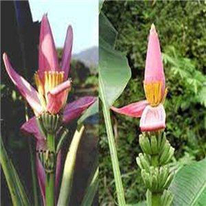 Banánovník Musa ornata - růžový květ (Musa ornata) 5 semen