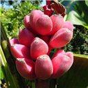 Banánovník Velutina - semienka rastliny 5 ks