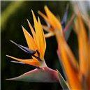 Strelície Kráľovská semienka rastliny 3 ks