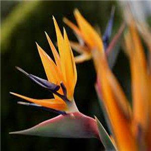 Strelície Kráľovská (rastlina: Strelitzia reginae) - semienka rastliny 3 ks