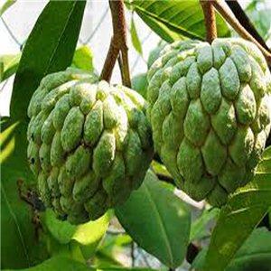Annona - láhevník - semienka rastliny 7 ks