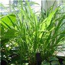 Citrónová Tráva - Citronela - semienka rastliny 35 ks