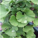 Ginko Biloba - Jinan - 3 - semienka rastliny