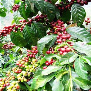 Kávovník semena