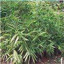 Nutuv Bambus semienka rastliny 3 ks