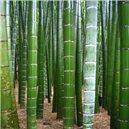 Kráľ Bambus semienka rastliny 3 ks