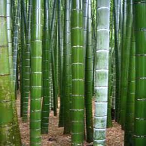 Kráľ Bambus (rastlina: Phyllostachys pubescens) - semienka rastliny 3 ks