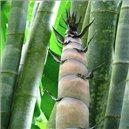 Bambus Obrie - Dendrokalamus semienka rastliny 3 ks