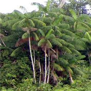 Palma Akai - (rastlina: Euterpe oleracea) - semienka rastliny 3 ks