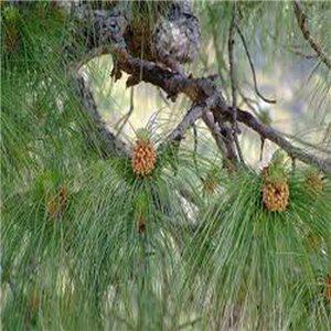 Borovica himalájska (strom: Pinus wallichiana) - semienka rastliny borovica 4 ks