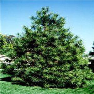 Borovica Ťažká - (strom: pinus ponderosa) - semienka rastliny 7 ks borovice