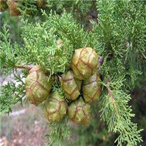 Cypriš Vždyzelený - (strom: Cupressus sempervirens) semená 8 ks