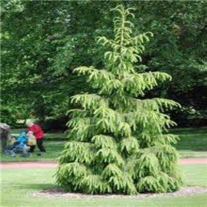 Smrk Tibetský ( Picea smithiana) 10 semen