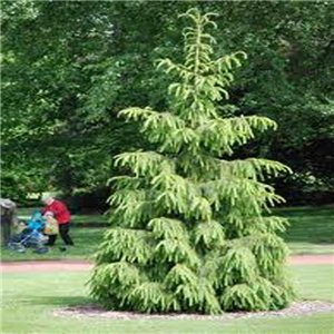Smrek Tibetský - (rastlina: Picea smithiana) - semienka rastliny 10 ks