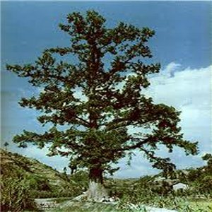Metasekvoj Čínska - (Metasequoia glyptostroboides) - semená 12 ks