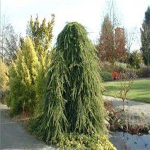 Cedr Himalájský  - (cedrus deodara) - semena 6 ks