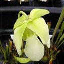 Saracénia krídlatá - Sarracenia - semienka rastliny 12 ks