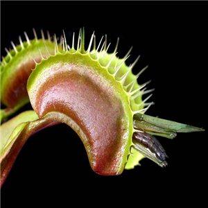 Mucholapka podivná semena
