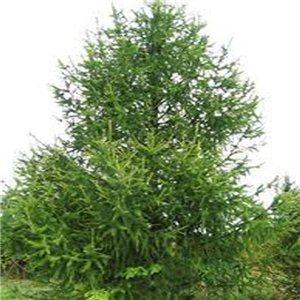 Modřín Sibiřský - (larix sibirica) - semena 12 ks